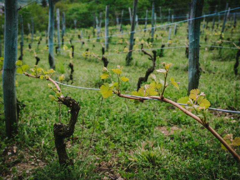 Vigne en bourgeonnement - Le Mas du Bruchet